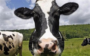 cow_1819457b