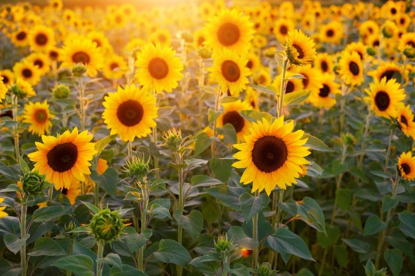 sunflower-3550693_1920